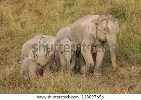 Family of wild elephant,Thailand