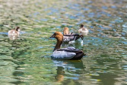 Family of wood ducks in a pond, bird watching in the park, waterbirds, ducks with little ducklings.