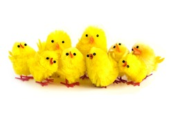 Family of yellow chicks isolated on white background