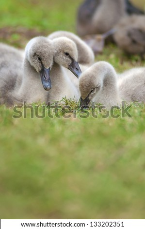 Family of young swans