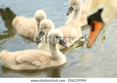 Family of young swans in the care of his mother.