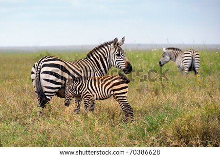 Family of zebra in Serengeti national park, mother and foal