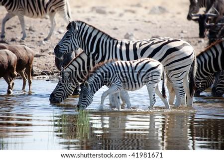 Family of Zebras drinking