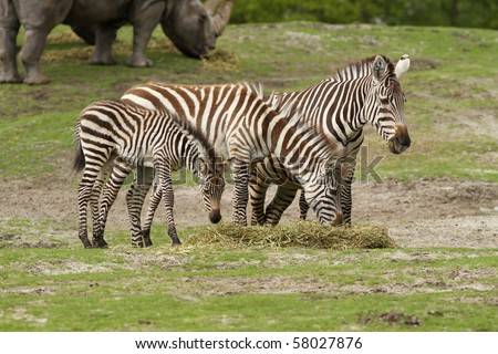 stock photo : Family of zebras eating