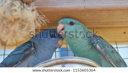 Family portrait of a blue female and turquoise male Barred parakeet (Bolborhynchus lineola) close up