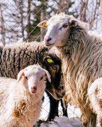 Family portrait of three sheep. Sheep are looking at the camera. Sheep on the farm. Close-up.