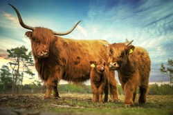 Family scottish cows in the summer