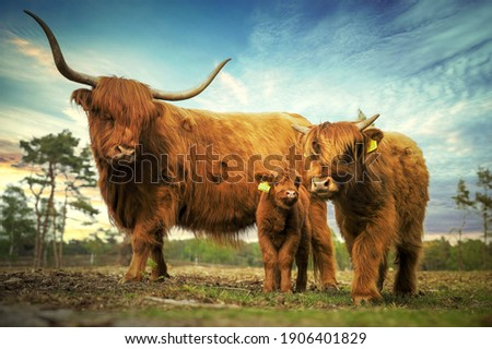 Family scottish cows in the summer Foto stock ©