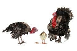 family turkey  isolated on a white background.