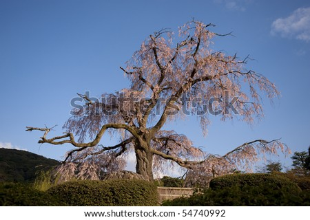 cherry tree blossom japan. stock photo : Famous cherry