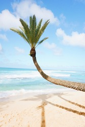 Famous crooked palm hanging over the beach at Sunset Beach, Oahu Hawaii with the blue Pacific Ocean in the background.