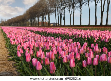 Famous Dutch bulb fields with millions of tulips in Holland
