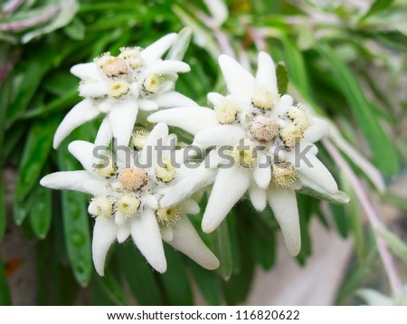 Famous flower Edelweiss (Leontopodium alpinum), symbol of alps