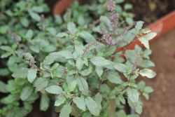 Famous Green Holy Basil Plants