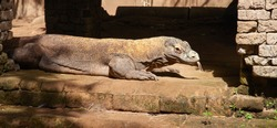 Famous Komodo dragon - world largest lizard