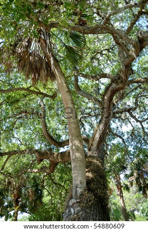Famous love tree Saint Augustine Florida. Palm  tree has grown through the center of a live oak tree.