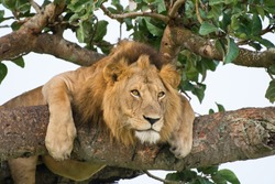 Famous male tree climbing lion king relaxing and sleeping at Ishasha Secotor, Queen Elizabeth National Park, Uganda, Africa.