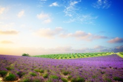 Famous Provence lavender scene -  flowers of lavender field with summer blue and pink sunset sky, Provence France, toned