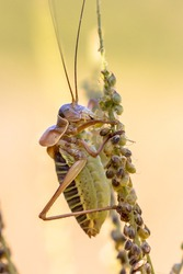 Famous Saddle-backed bush cricket (Ephippiger ephippiger). This distinctive grasshopper is found in all of Europe except the British Isles. It is known as biological pest control repellent.