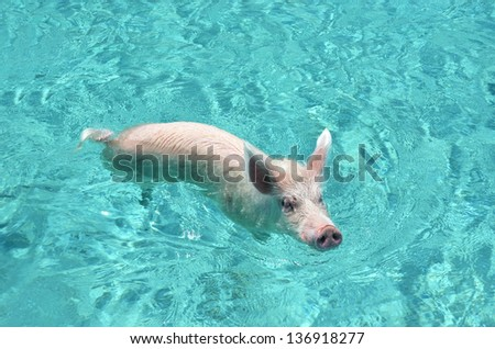 Famous swimming Pig of Exumas, Bahamas