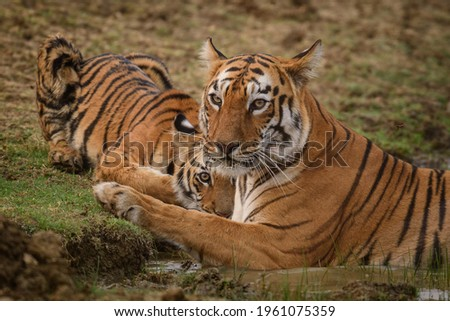 Famous Tigress of Tadoba Tiger Reserve, 'Maya' cooling herself in a water body as one of her cub quenches its thirst while looking straight at the camera. Foto stock ©