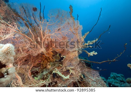 Fan coral and fish in the Red Sea