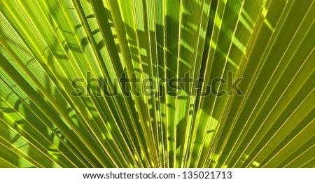 Fan Like Palm Fan-like Leaf of a Palm Tree
