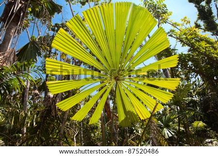 Big Leaf Palms Fan Palm Tree With Big Round