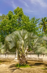 Fan palm tree with leaves spikes out in all directions, shown with other trees in a blur background