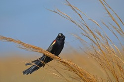 Fan-tailed Widowbird / Red-shouldered Widow (Euplectes axillaris) perched high on grass at Rietvlei Nature Reserve, South Africa