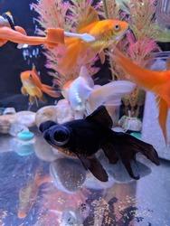 Fancy aquarium goldfish of my aquarium tank