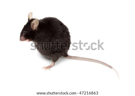 Fancy  Black Mouse in studio against a white background.