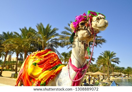 Fancy camel on the Red Sea beach in Hurghada, Egypt. #1308889072