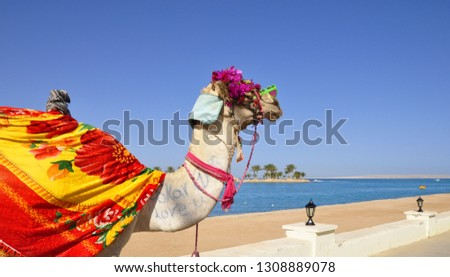 Fancy camel on the Red Sea beach in Hurghada, Egypt. #1308889078