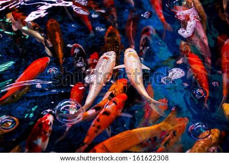 fancy carp fish
