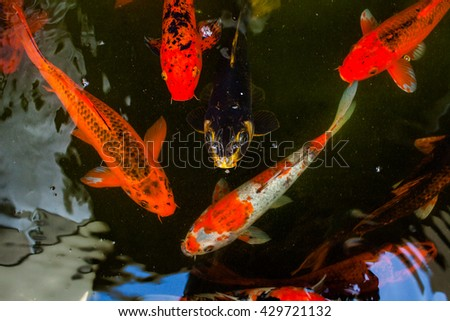 Fancy carp fish koi fish fish koi in pond multi colored for Surface fish ponds
