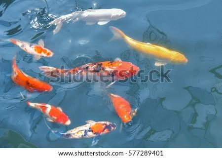 Fancy carp, Mirror carp, Koi, Nishikigoi Animal auspicious feng shui home. #577289401