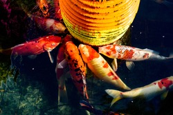 Fancy carp Mirror carp or Koi fish in the pond is opening its mouth and waiting to eat food.