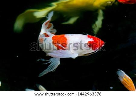 Red cap oranda goldfish, close-up Stock Photo 473733871