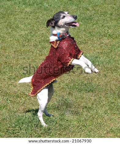 Fancy dressed terrier dancing