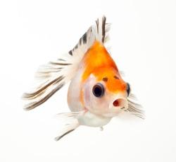 fancy goldfish isolated on white background