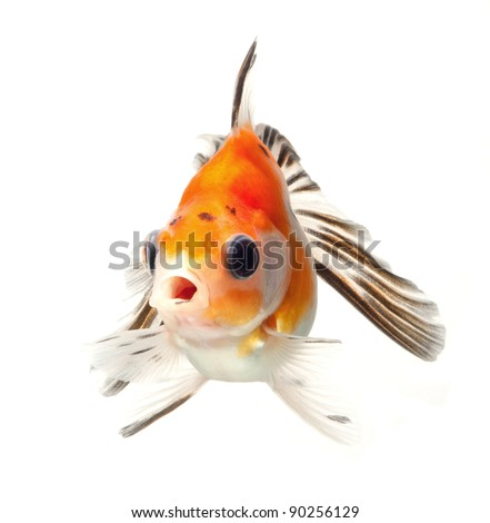 fancy goldfish isolated on white background