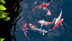 Fancy Koi fish or Fancy Carp swimming in a black pond fish pond. Popular pets for relaxation and feng shui meaning.