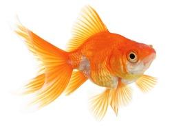 Fantail Ryukin Goldfish Isolated on White Background
