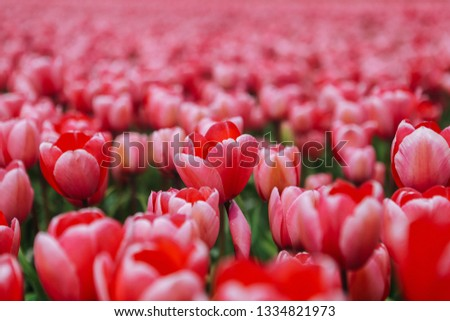 Fantastic beautiful field with pink tulips in the Netherlands in spring. Blooming purple tulip fields in a dutch landscape Holland. Selective focus. Selective focus #1334821973