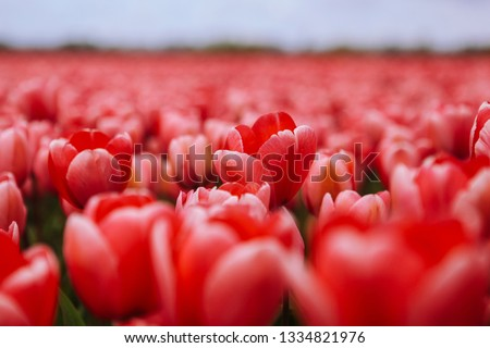 Fantastic beautiful field with pink tulips in the Netherlands in spring. Blooming purple tulip fields in a dutch landscape Holland. Selective focus. Selective focus #1334821976