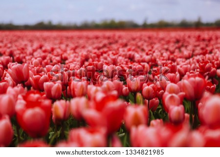 Fantastic beautiful field with pink tulips in the Netherlands in spring. Blooming purple tulip fields in a dutch landscape Holland. Selective focus. Selective focus #1334821985