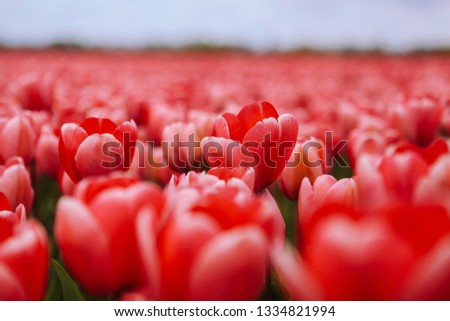 Fantastic beautiful field with pink tulips in the Netherlands in spring. Blooming purple tulip fields in a dutch landscape Holland. Selective focus. Selective focus #1334821994