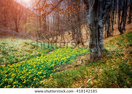 Fantastic carpet of yellow marsh marigold (Caltha palustris) glowing by sunlight. Dramatic scene and picturesque picture. Location place Carpathian, Ukraine, Europe. Beauty world. Soft filter effect. #418142185