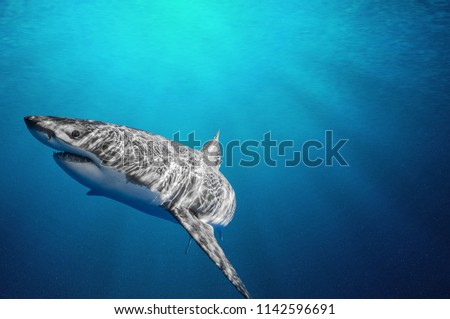 Fantastic detail in the deep clear blue water. Portrait of a shark up close. Clear blue ocean water and sunlight beneath the surface of water in the background. #1142596691
